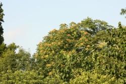 Ailanthus altissima (22)