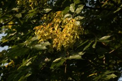 Ailanthus altissima (23)