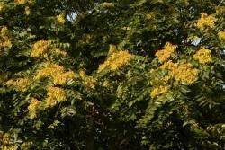 Ailanthus altissima (24)