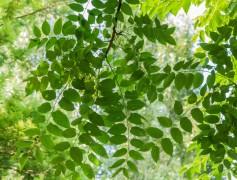 Ailanthus altissima (4)