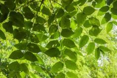 Ailanthus altissima (5)