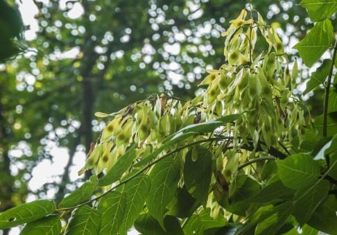 Ailanthus altissima (6)