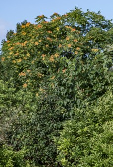 Ailanthus altissima (7)