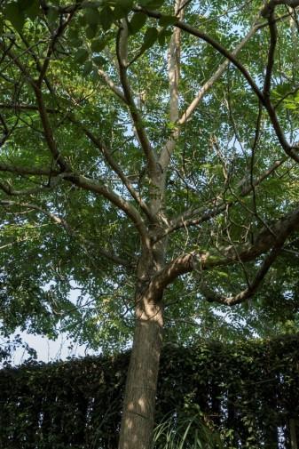 Ailanthus altissima (8)