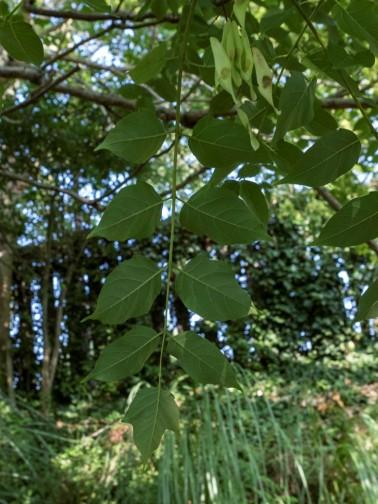 Ailanthus altissima (9)