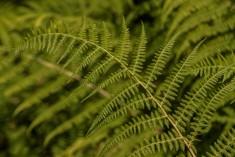 Athyrium filix -femina (2)