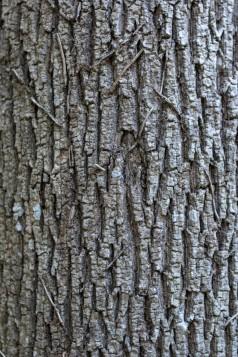Fraxinus excelsior (11)