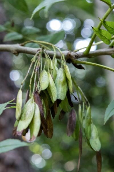 Fraxinus excelsior (13)