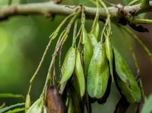 Fraxinus excelsior (3)