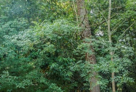Fraxinus excelsior (6)