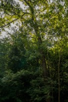 Fraxinus excelsior (8)