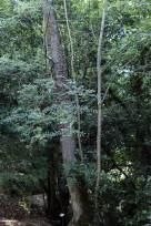 Fraxinus excelsior (9)