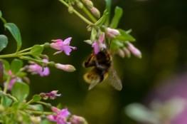 Fuchsia trientje (10)