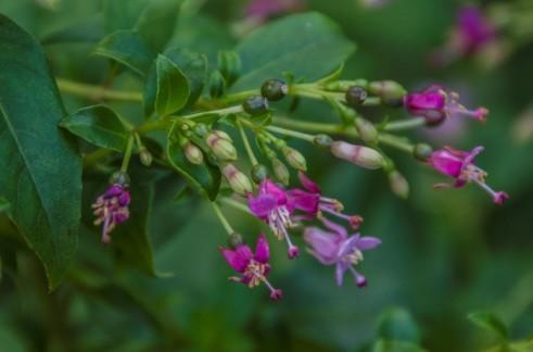 Fuchsia trientje (3)