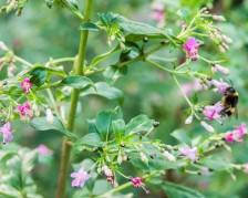 Fuchsia trientje (5)