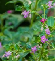 Fuchsia trientje (7)