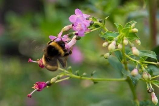 Fuchsia trientje (8)