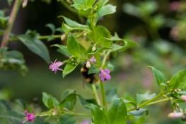 Fuchsia trientje (9)