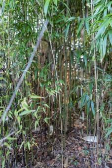 Phyllostachys bambusoides (13)