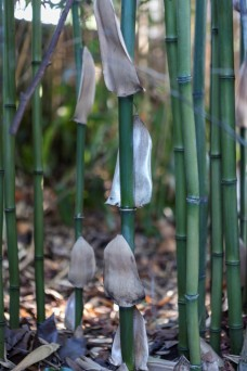 Phyllostachys bambusoides (14)