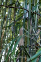 Phyllostachys bambusoides (15)