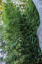 Phyllostachys bambusoides (16)