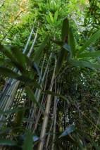 Phyllostachys bambusoides (17)