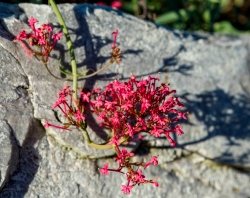 Centranthus ruber 5