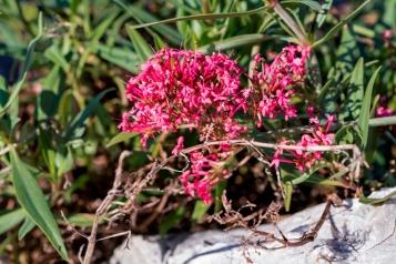 Centranthus ruber 6