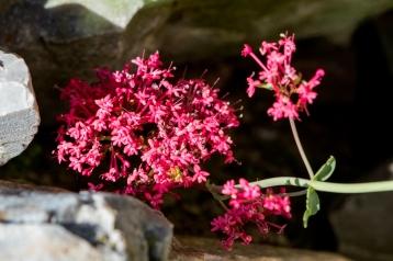 Centranthus ruber 7