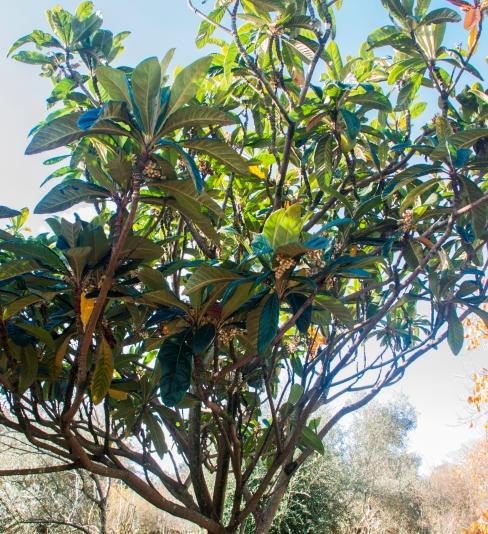 Eriobotrya japonica 1