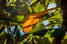 Eriobotrya japonica 12