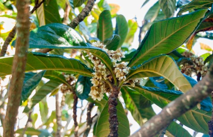 Eriobotrya japonica 3