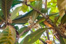 Eriobotrya japonica 7