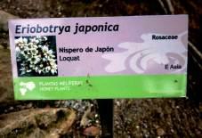 Eriobotrya japonica Cartela