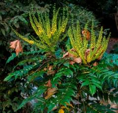 Mahonia aquifolium 11