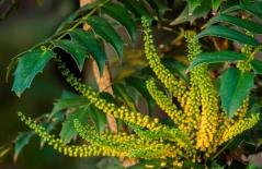 Mahonia aquifolium 12