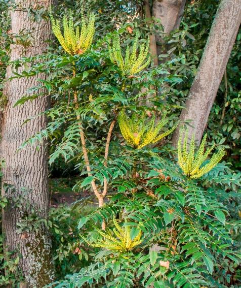 Mahonia aquifolium 13