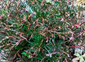 andromeda polifolia (7)