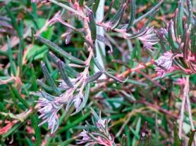 andromeda polifolia (8)