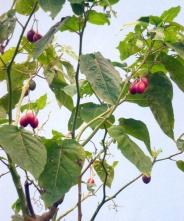 cyphomandra betaceae (8)