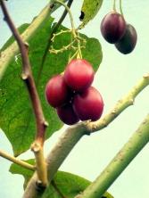 cyphomandra betaceae (9)