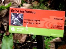 erica lusitanica (12)