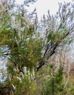 erica lusitanica (5)