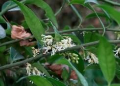 sarcococa ruscifolia (10)