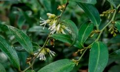 sarcococa ruscifolia (11)