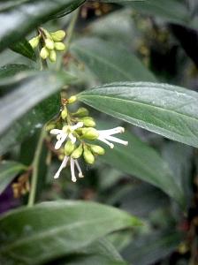 sarcococa ruscifolia (12)