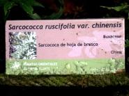 sarcococa ruscifolia (2)