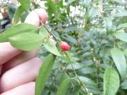 sarcococa ruscifolia (5)