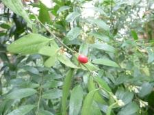 sarcococa ruscifolia (6)